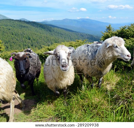 Three cute sheeps in a pasture on a background of mountains - stock photo