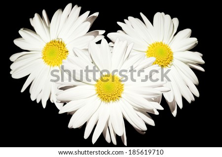 three daisy flowers isolated on white - stock photo