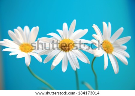 Three daisy flowers set against a blue background. - stock photo