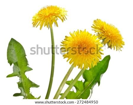 Three dandelion flowers - stock photo