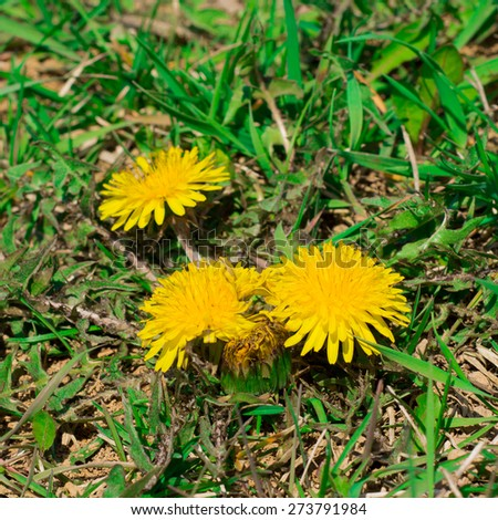 Three dandelion flowers in the grass - stock photo
