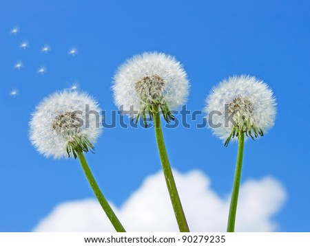 Three dandelion plants on a background of a blue sky with clouds - stock photo