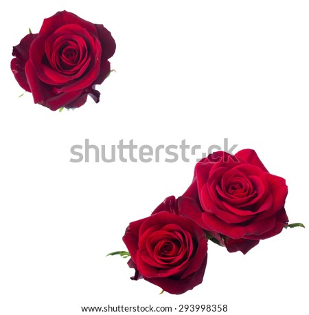 three  dark red rose close up  isolated on white background - stock photo
