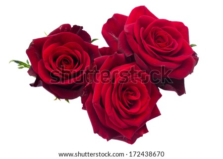 three dark red roses isolated on white background - stock photo