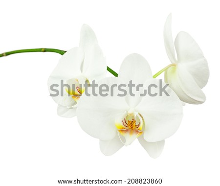 Three day old white orchid isolated on white background. Closeup. - stock photo