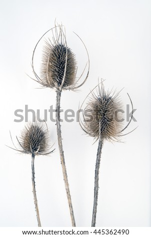 Three dead, dry long thistles over white background