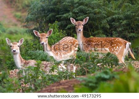 Three Deer Watching - stock photo