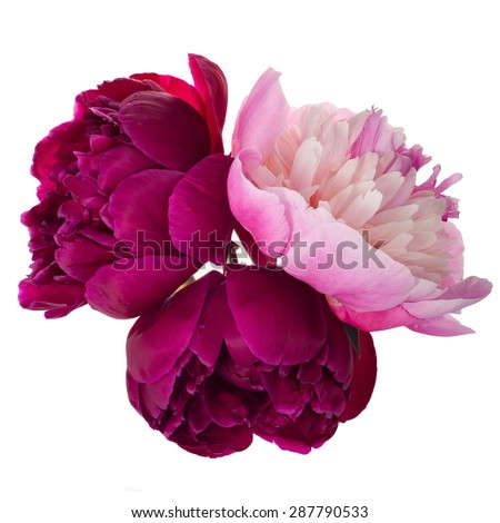 Three different color peonies isolated on white background