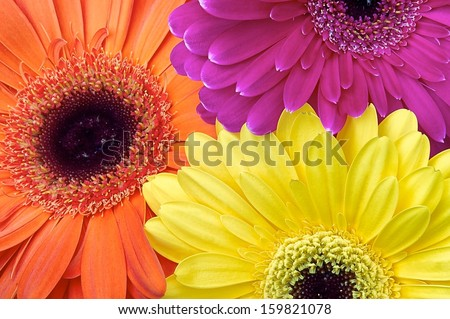 Three different colored gerber flowers