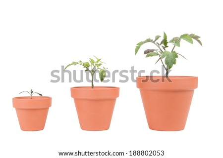 Three different sized terracotta planters with different sized tomato plants.