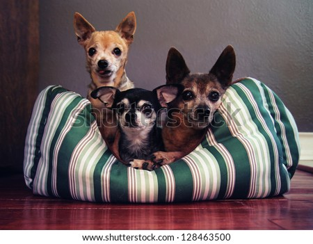 three dog pals in a dog bed together - stock photo