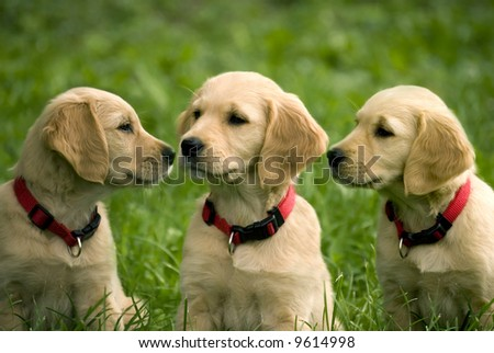 three dog puppies of golden retriever in a meadow - stock photo