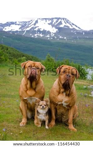 Three dogs against Norwegian landscape, Scandinavia - stock photo