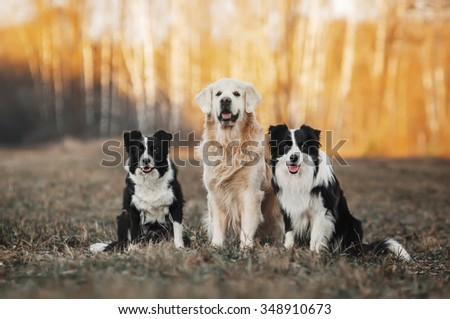 three dogs, golden retriever and two Border Collies, sitting on the field