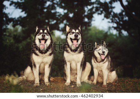 Three dogs sitting on a meadow. The Alaskan Malamute and the Siberian husky group portrait.