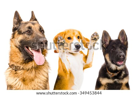 Three dogs together, closeup, isolated on a white background