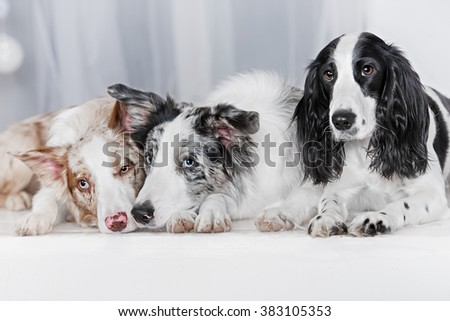 Three dogs together. Two dog breeds border collie and one Russian Spaniel, lay on a bed in white room.