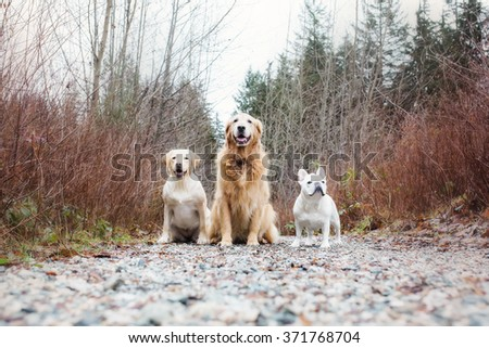 Three dogs: Yellow lab, golden retriever and French bulldog - stock photo