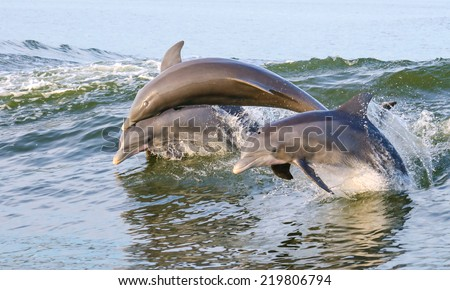 Three Dolphins jumping from the water on the Alabama Gulf Coast. - stock photo