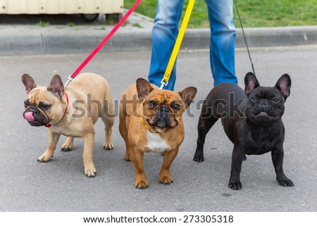 three Domestic dogs French Bulldog breed on leash. Focus on the dog muzzle, shallow depth of field - stock photo