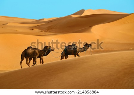 Three dromedary camels walking in the Sahara desert in Morocco - stock photo