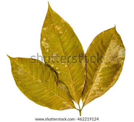 Three dry leaves closeup with isolated background