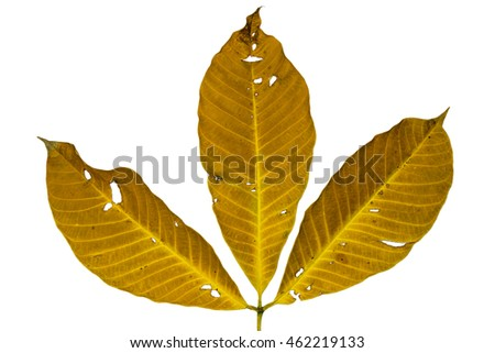 Three dry leaves closeup with isolated white background