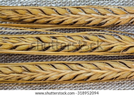 Three ears of ripe barley on linen background, closeup shot