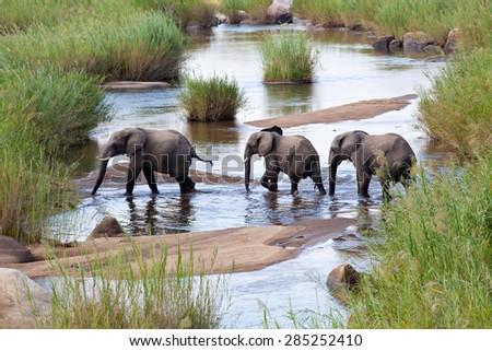 Three elephants crossing a river - stock photo