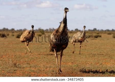 Three Emu - stock photo