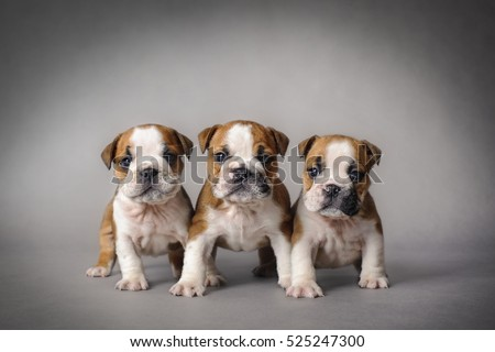 Three English bulldog puppies on grey background