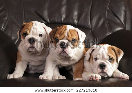 Three english bulldog puppies sitting on black leather sofa. - stock photo