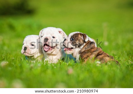 Three english bulldog puppies sitting on the lawn - stock photo