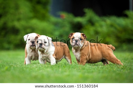 Three english bulldog puppies standing on the lawn - stock photo