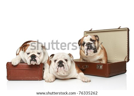 Three English bulldogs are on vintage suitcase