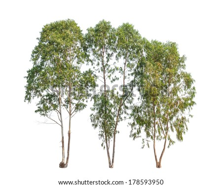 Three Eucalyptus trees, tropical tree in the northeast of Thailand isolated on white background - stock photo