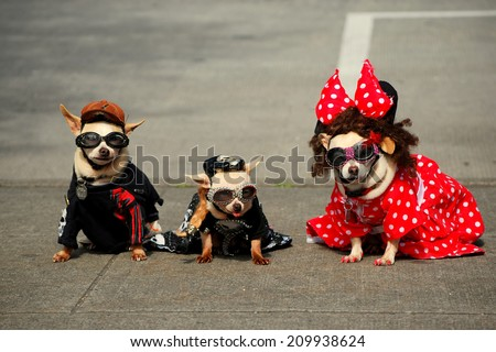 Three Fashionable Dogs (Chihuahuas) Pose for Photographers - stock photo