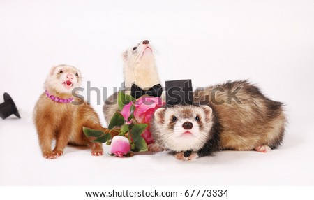 Three ferrets. Hooligan female flirt, two bewildered men in a cylinder and butterfly ties. - stock photo