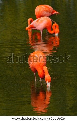 Three flamingos feeding in a pool - stock photo
