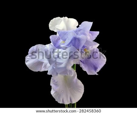 Three flower Iris - stock photo