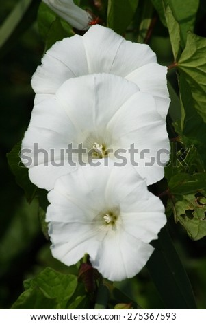Three flowers of a white field bindweed (Convolvulus arvensis)