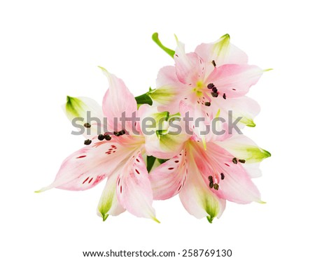 Three flowers of pink alstroemeria isolated on white - stock photo