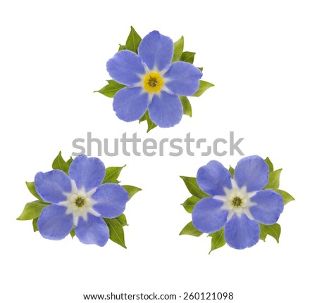 Three Forget me not flowers decorated with leaves - stock photo