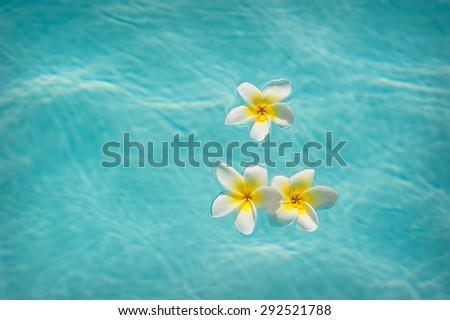 Three frangipanis Floating on Swimming Pool. - stock photo