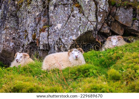 Three free range sheep in Northwestern Iceland - stock photo