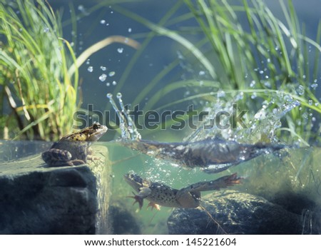 Three frogs in water surface view
