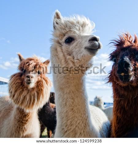 Three Funny Alpacas - stock photo