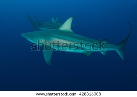 three giant Blacktips swimming in deep blue water - stock photo