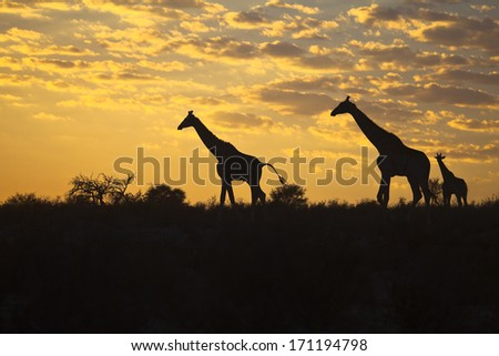 Three Giraffes (Giraffa camelopardalis) silhouetted against a sunrise cloudscape sky in the Kalahari desert, Kgalagadi transfrontier park, South Africa. - stock photo
