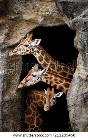 Three Giraffes looking out of a cave - stock photo